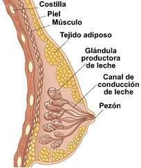 Anatomía de la mama (lactancia materna).